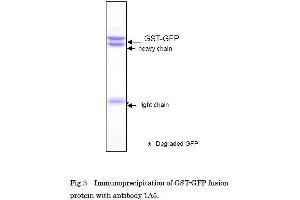 Immunoprecipitation (IP) image for anti-Green Fluorescent Protein (GFP) antibody (ABIN2451988)
