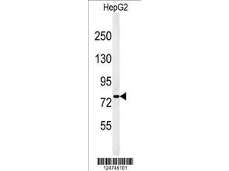 Western Blotting (WB) image for anti-Protein YMEL-1 (YMEL-1) (AA 191-219), (N-Term) antibody (ABIN651076)