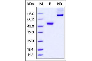 Image no. 1 for Cytotoxic T-Lymphocyte-Associated Protein 4 (CTLA4) (AA 37-162) protein (Fc Tag) (ABIN4949091)