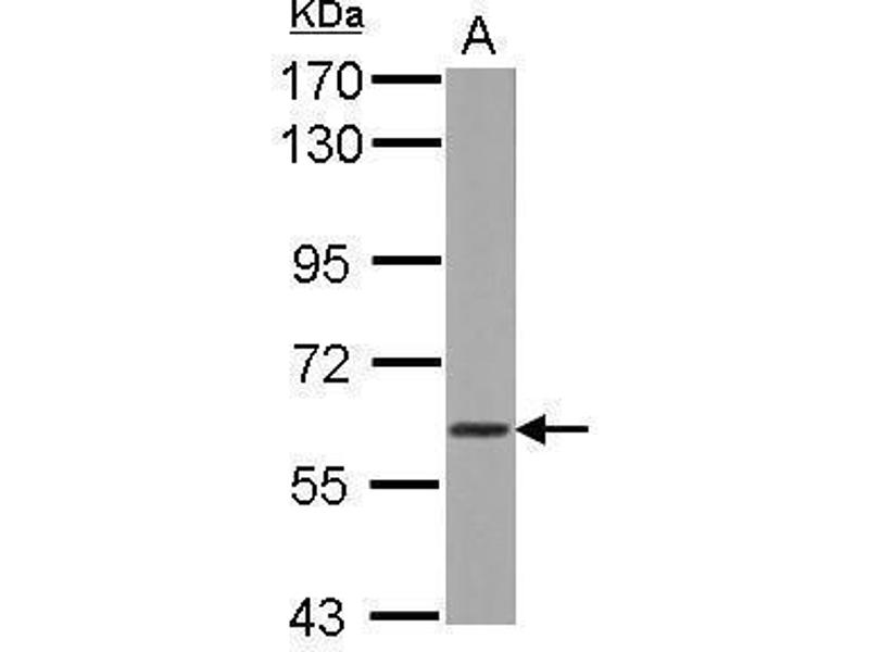 Western Blotting (WB) image for anti-WD Repeat Domain 1 (WDR1) (Center) antibody (ABIN2855338)