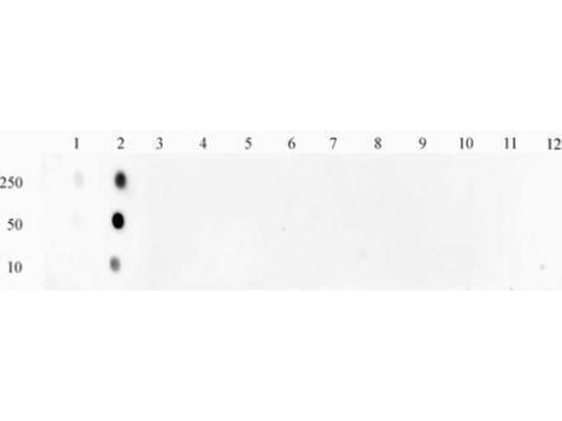 Dot Blot (DB) image for anti-STAT1 antibody (Signal Transducer and Activator of Transcription 1, 91kDa) (pSer727) (ABIN2668935)