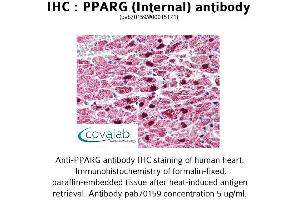 Image no. 1 for anti-Peroxisome Proliferator-Activated Receptor gamma (PPARG) (Internal Region) antibody (ABIN1738287)