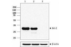 Western Blotting (WB) image for anti-BCL2 抗体 (B-Cell CLL/lymphoma 2) (AA 41-54) (ABIN2664061)