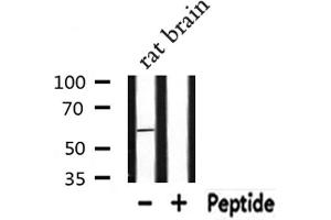 Image no. 1 for anti-RAB11 Family Interacting Protein 2 (Class I) (RAB11FIP2) antibody (ABIN6259337)