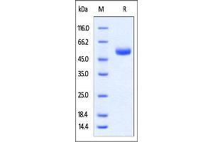 Image no. 2 for Cytotoxic T-Lymphocyte-Associated Protein 4 (CTLA4) (AA 36-161) protein (Fc Tag) (ABIN4949199)