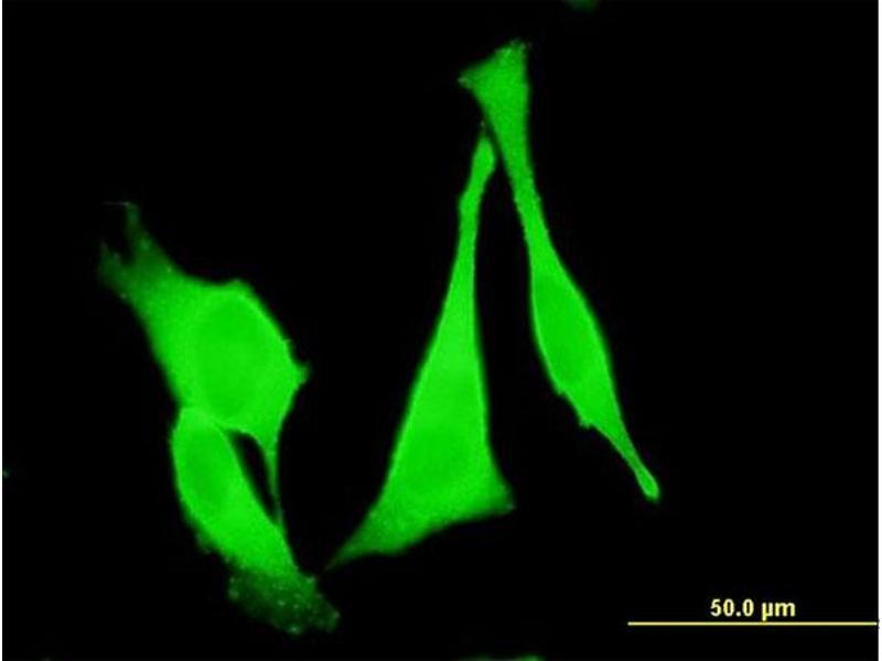 Immunofluorescence (IF) image for anti-Frizzled Family Receptor 3 (FZD3) (AA 55-158) antibody (ABIN395729)