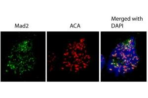 Image no. 6 for anti-MAD2 Mitotic Arrest Deficient-Like 1 (Yeast) (MAD2L1) (C-Term) antibody (ABIN2855897)