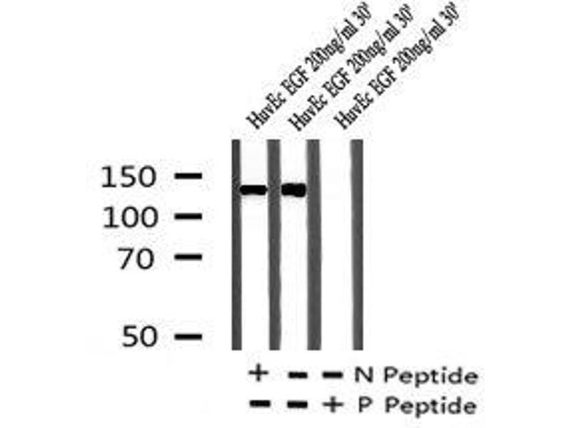 Image no. 1 for anti-Receptor Tyrosine-Protein Kinase ErbB-3 (ERBB3) (pSer684) antibody (ABIN6269931)