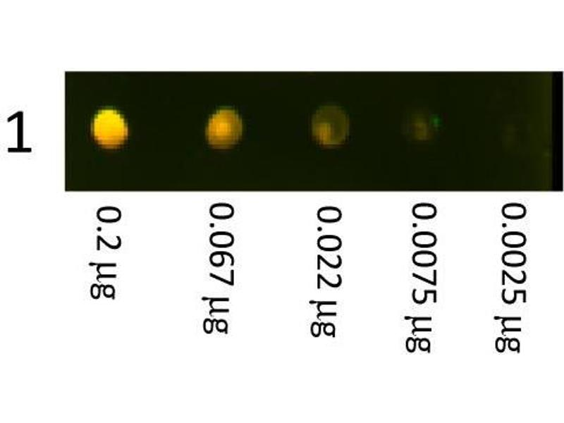 Dot Blot (DB) image for Goat anti-Rabbit IgG (Heavy & Light Chain) antibody (Texas Red (TR)) (ABIN101991)