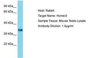 Image no. 1 for anti-Homer Homolog 2 (Drosophila) (HOMER2) (AA 153-202) antibody (ABIN6750465)