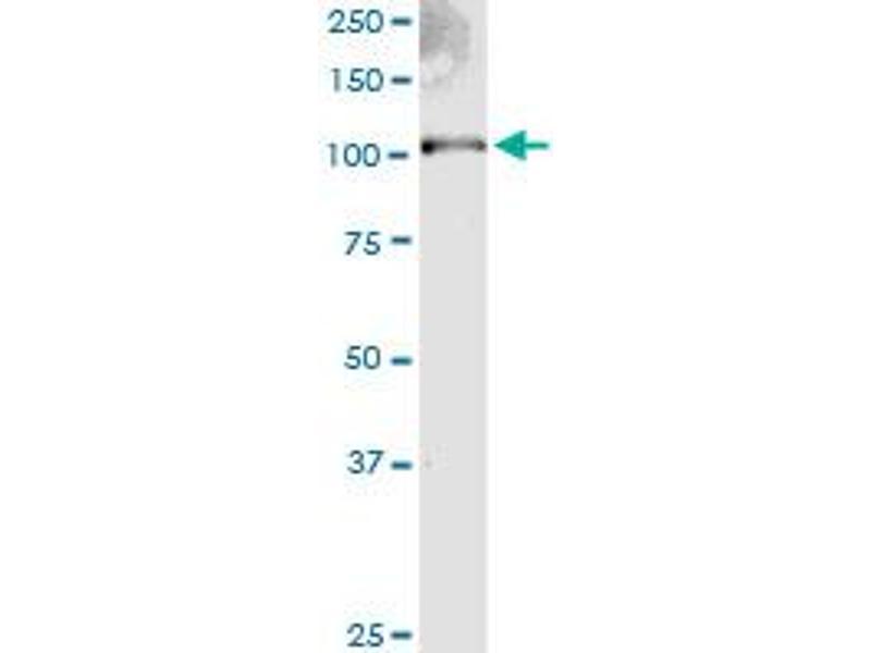 Western Blotting (WB) image for anti-Exostosin 2 (EXT2) (AA 216-315) antibody (ABIN396098)