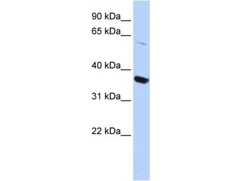 Western Blotting (WB) image for anti-Potassium Voltage-Gated Channel, Shaker-Related Subfamily, Member 10 (KCNA10) (N-Term) antibody (ABIN501379)