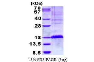 Image no. 1 for TSC22 Domain Family, Member 3 (TSC22D3) protein (His tag) (ABIN1098422)