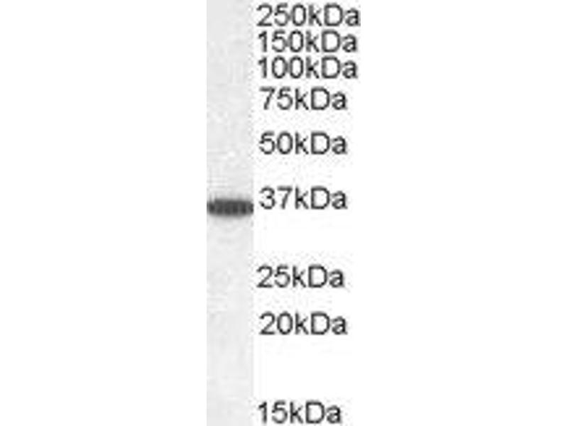 Western Blotting (WB) image for anti-Protein Phosphatase 2, Catalytic Subunit, alpha Isozyme (PPP2CA) (C-Term) antibody (ABIN2564662)