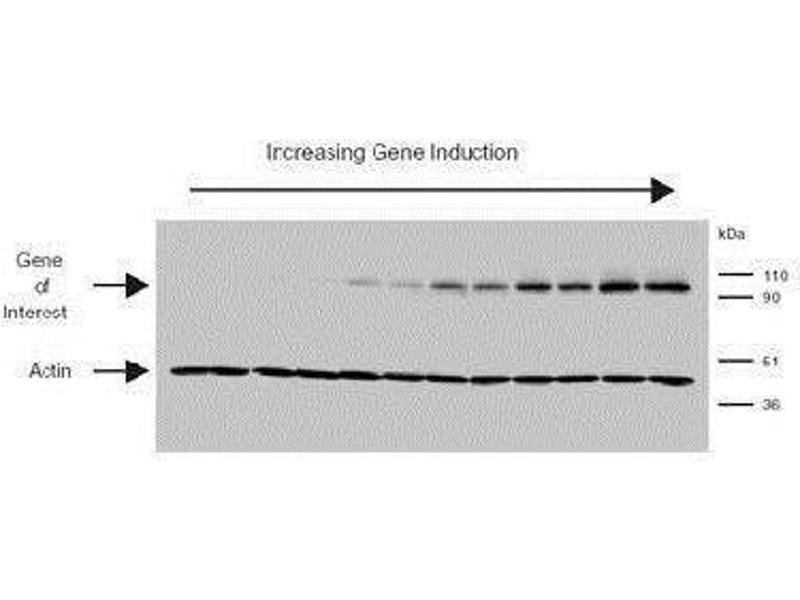 Western Blotting (WB) image for anti-Actin, beta (ACTB) (N-Term) antibody (ABIN153386)