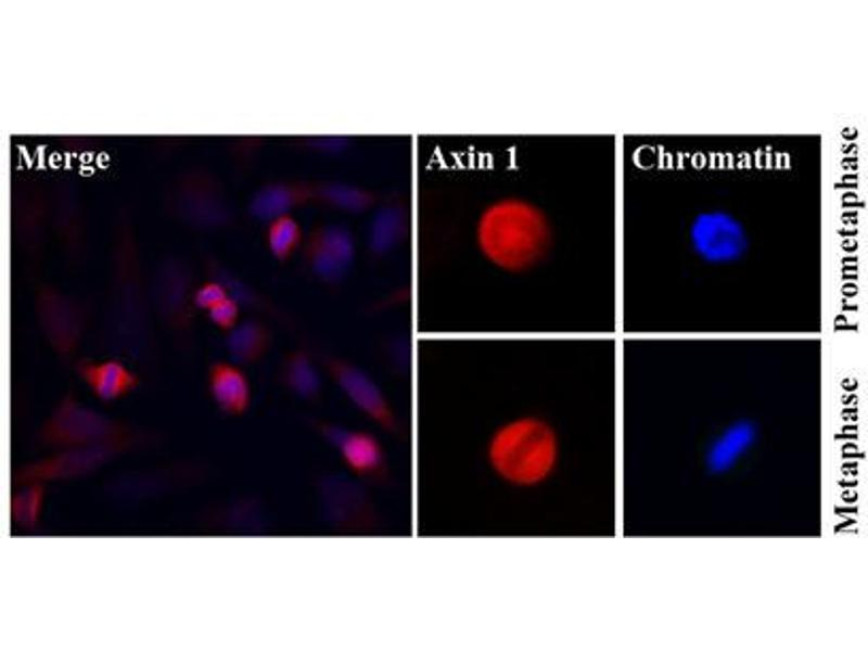 Immunofluorescence (IF) image for anti-AXIN1 antibody (Axin 1) (ABIN567615)