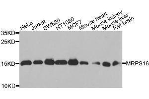 Image no. 1 for anti-Mitochondrial Ribosomal Protein S16 (MRPS16) antibody (ABIN6572057)