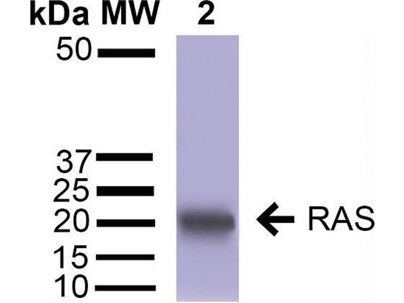 Western Blotting (WB) image for anti-RAS (AA 31-43) antibody (HRP) (ABIN2485499)