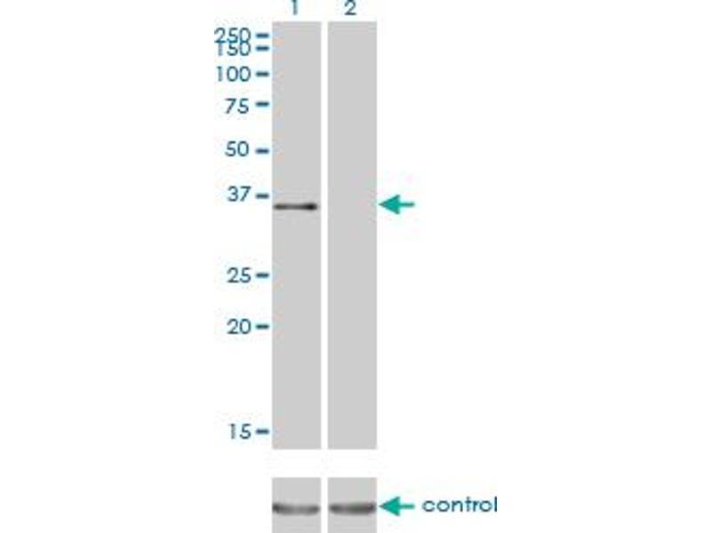 Western Blotting (WB) image for anti-Activating Transcription Factor 1 (AFT1) (AA 1-271), (full length) antibody (ABIN513567)