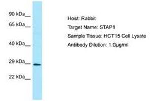 Image no. 1 for anti-Signal Transducing Adaptor Family Member 1 (STAP1) (AA 120-169) antibody (ABIN6750037)