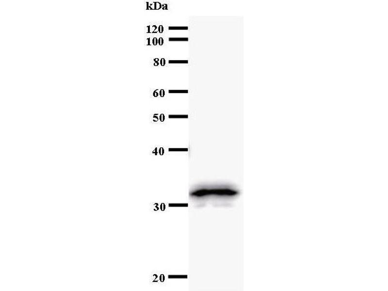 Western Blotting (WB) image for anti-Paired Box 8 (PAX8) antibody (ABIN933101)