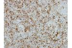 Immunohistochemistry (Paraffin-embedded Sections) (IHC (p)) image for anti-Fibroblast Growth Factor 21 (FGF21) (C-Term) antibody (ABIN441374)