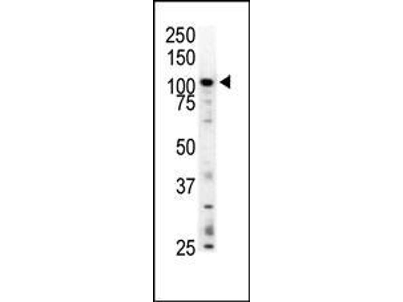 Western Blotting (WB) image for anti-C-Mer Proto-Oncogene Tyrosine Kinase (MERTK) (AA 6-37), (N-Term) antibody (ABIN392017)