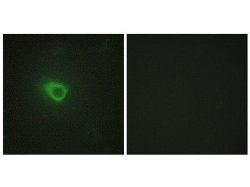 Immunofluorescence (IF) image for anti-JAK1 antibody (Janus Kinase 1) (N-Term) (ABIN1849256)