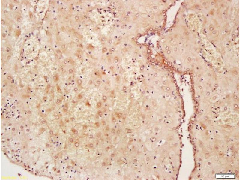 Immunohistochemistry (IHC) image for anti-WNT2 anticorps (Wingless-Type MMTV Integration Site Family Member 2) (AA 240-290) (ABIN762896)