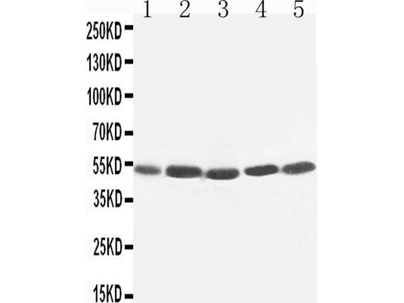 Western Blotting (WB) image for anti-Hepatitis A Virus Cellular Receptor 1 (HAVCR1) (AA 332-348), (C-Term) antibody (ABIN3044226)