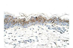 Image no. 2 for anti-GTP Binding Protein Overexpressed in Skeletal Muscle (GEM) (C-Term) antibody (ABIN630220)