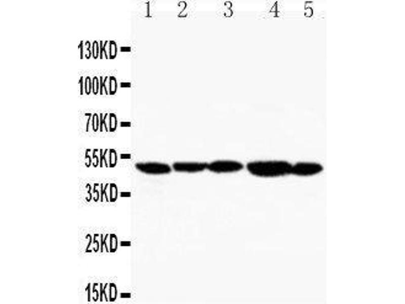 Western Blotting (WB) image for anti-Hepatitis A Virus Cellular Receptor 1 (HAVCR1) (AA 289-307), (C-Term) antibody (ABIN3044229)