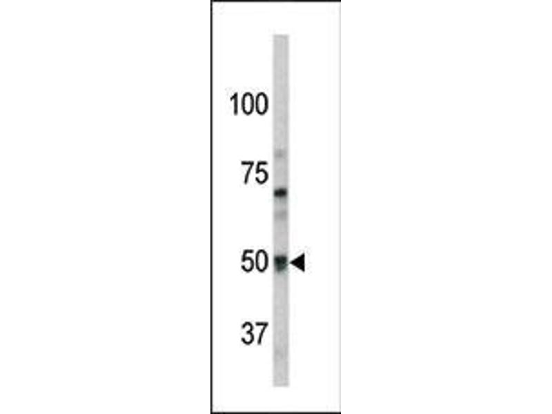 Western Blotting (WB) image for anti-G Protein-Coupled Receptor 37 (GPR37) (AA 97-126), (N-Term) antibody (ABIN390379)