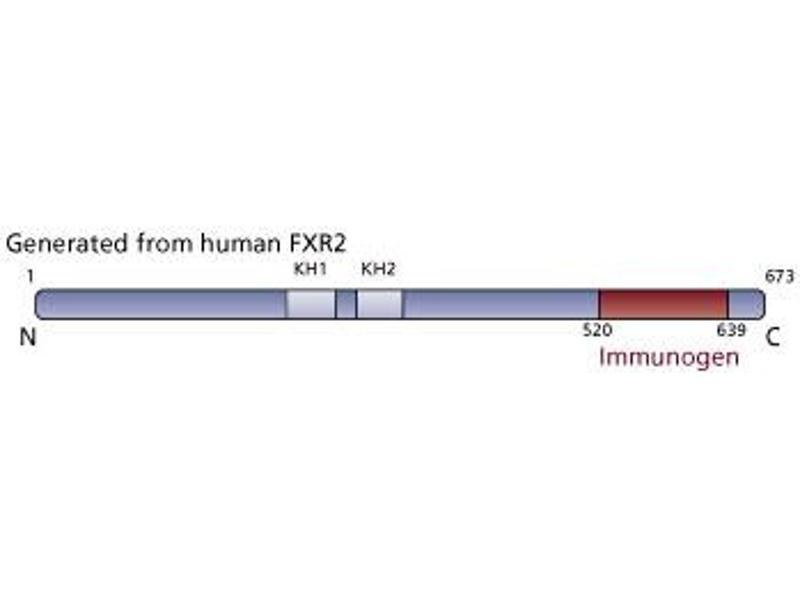 image for anti-Fragile X Mental Retardation, Autosomal Homolog 2 (FXR2) (AA 520-639) antibody (ABIN968478)