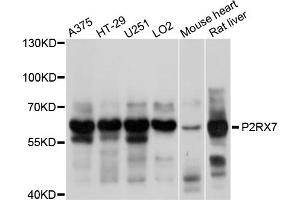 Image no. 1 for anti-Purinergic Receptor P2X, Ligand-Gated Ion Channel, 7 (P2RX7) antibody (ABIN6566964)