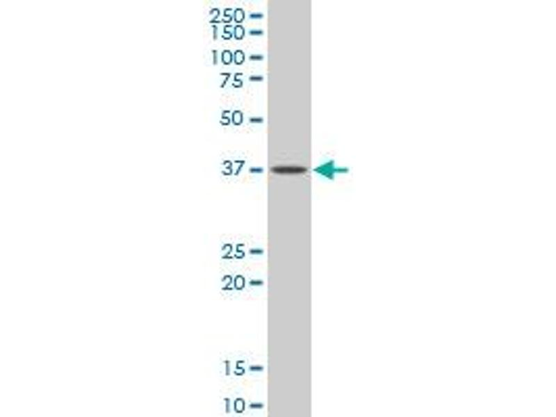 Western Blotting (WB) image for anti-Guanine Nucleotide Binding Protein (G Protein), alpha Inhibiting Activity Polypeptide 2 (GNAI2) (AA 1-340) antibody (ABIN394533)