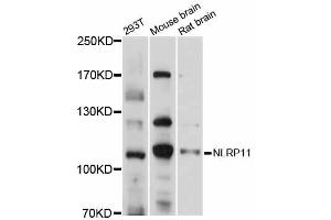 Image no. 1 for anti-NLR Family, Pyrin Domain Containing 11 (NLRP11) antibody (ABIN6292815)