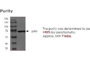 Western Blotting (WB) image for Mitogen-Activated Protein Kinase 11 (MAPK11) (Active) protein (ABIN457518)