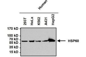 Western Blotting (WB) image for anti-Heat Shock 60kDa Protein 1 (Chaperonin) (HSPD1) antibody (ABIN4320164)