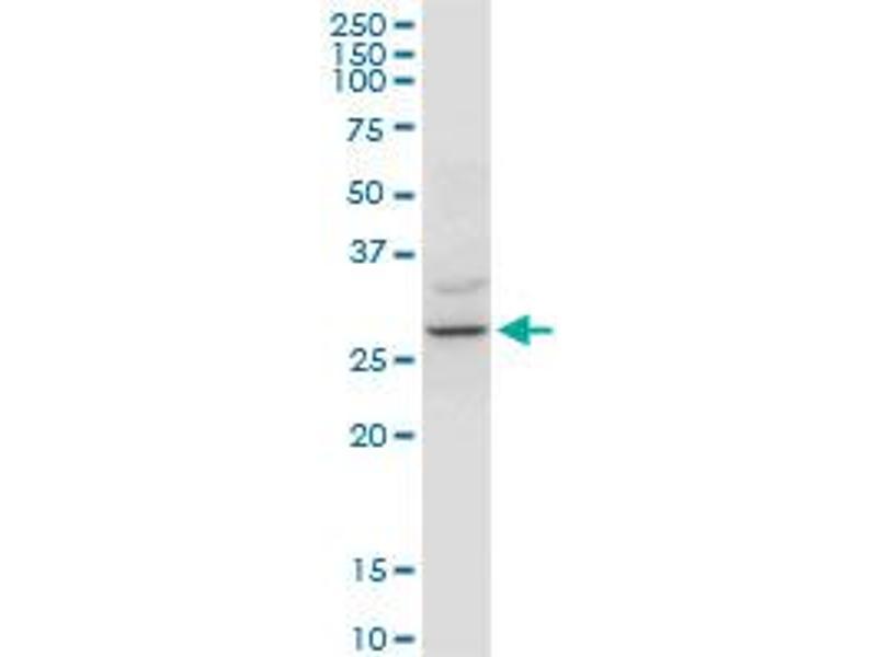 Western Blotting (WB) image for anti-tyrosine 3-Monooxygenase/tryptophan 5-Monooxygenase Activation Protein, zeta Polypeptide (YWHAZ) (AA 51-150), (partial) antibody (ABIN521446)