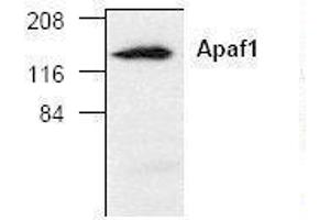 image for anti-Apoptotic Peptidase Activating Factor 1 (APAF1) antibody (ABIN241600)