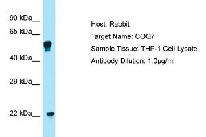 Image no. 1 for anti-Coenzyme Q Biosynthesis Protein 7 (Coq7) (C-Term) antibody (ABIN2774387)