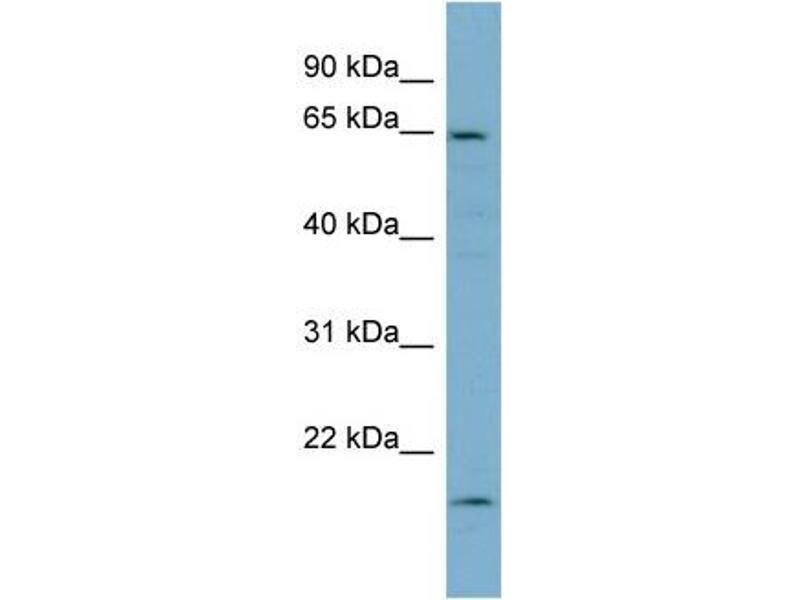 Western Blotting (WB) image for anti-Plastin 3 (PLS3) (Middle Region) antibody (ABIN504028)
