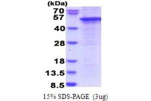 Image no. 1 for SH3 and Cysteine Rich Domain (STAC) (AA 1-402) protein (His tag) (ABIN5853787)