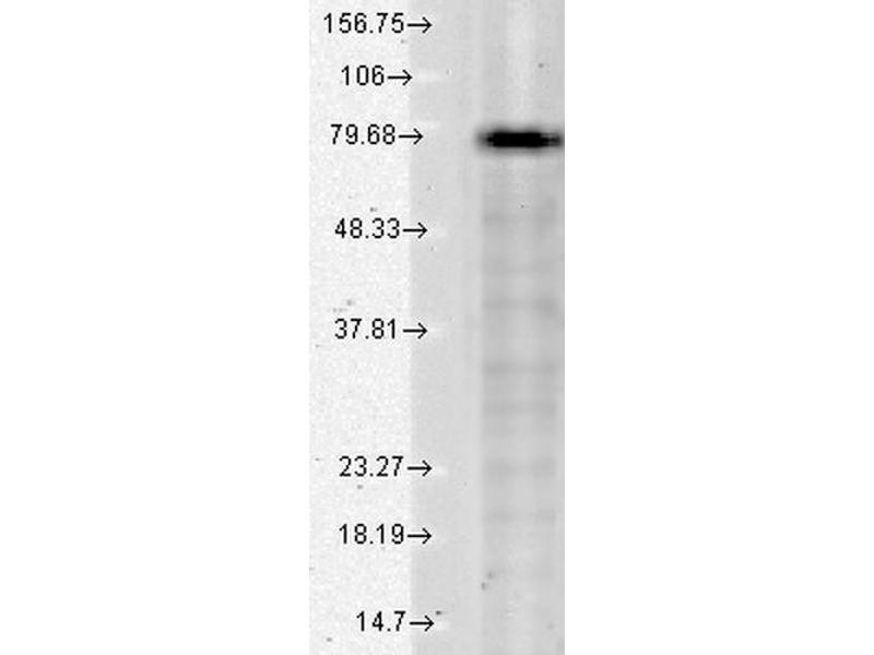 Western Blotting (WB) image for anti-Potassium Voltage-Gated Channel, KQT-Like Subfamily, Member 1 (KCNQ1) (AA 2-101) antibody (Atto 680) (ABIN2483161)