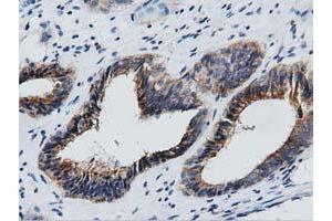 Image no. 3 for anti-Growth Arrest-Specific 7 (GAS7) antibody (ABIN1498380)