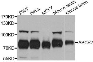Image no. 1 for anti-ATP-Binding Cassette, Sub-Family F (GCN20), Member 2 (ABCF2) antibody (ABIN1678513)