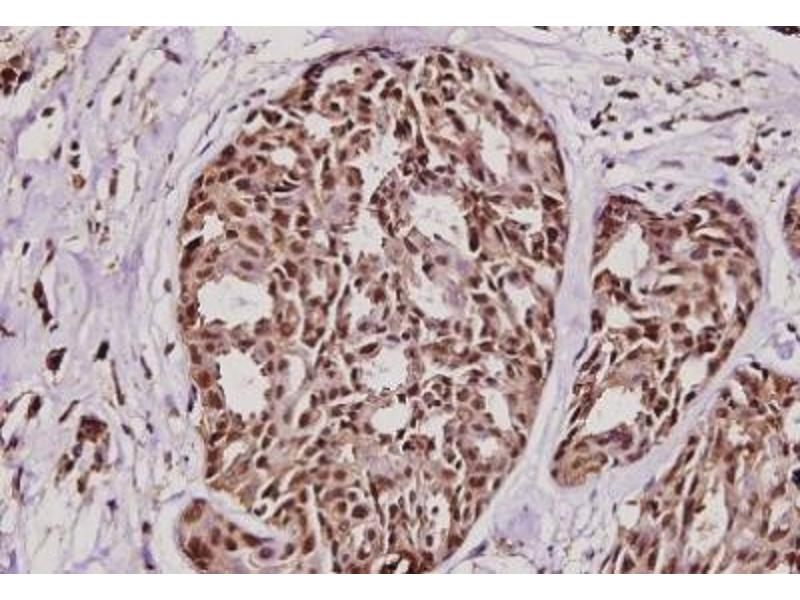 Immunohistochemistry (Paraffin-embedded Sections) (IHC (p)) image for anti-Tumor Protein, Translationally-Controlled 1 (TPT1) antibody (ABIN408173)