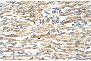 Image no. 2 for anti-YY1 Associated Factor 2 (YAF2) (Middle Region) antibody (ABIN2777311)
