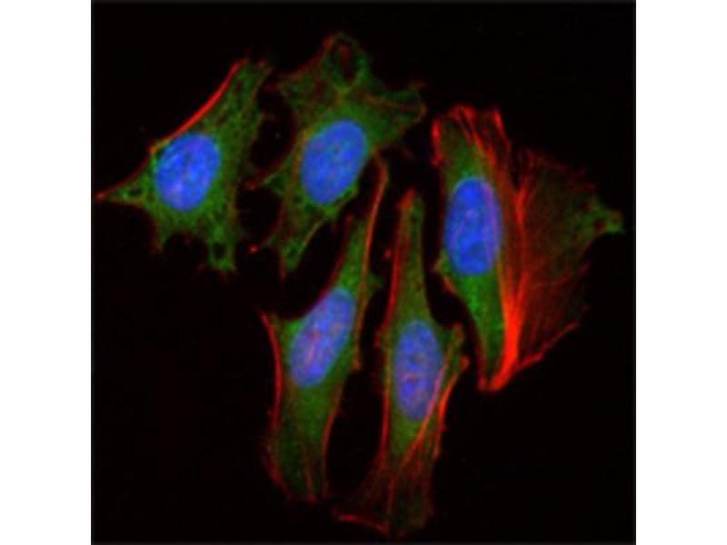 Image no. 1 for anti-Clock Homolog (Mouse) (CLOCK) antibody (ABIN1842971)